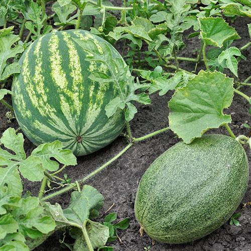 consejos elegir melon sandia comprar