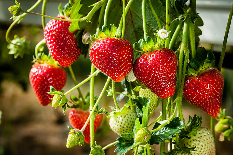 comprar fresones huelva fresas aranjuez